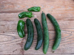 少しずつ野菜が取れ始めました♪