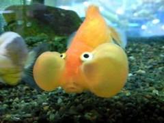 ほっぺがぷっくりな金魚