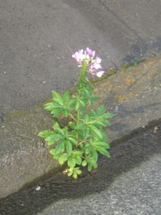 コンクリートの割れ目に咲く花