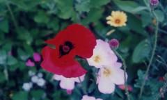 華やかな花・・・ポピー