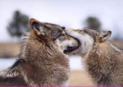 《狼になりたい》