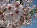 西都原の桜と菜の花~その2