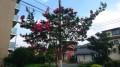 サルスベリ の花