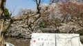 皇居乾通りの桜