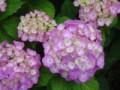 雨に咲く 紫陽花-14