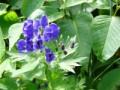 北アルプス剣岳に咲く美しいトリカブトです!