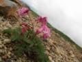 高山植物の女王